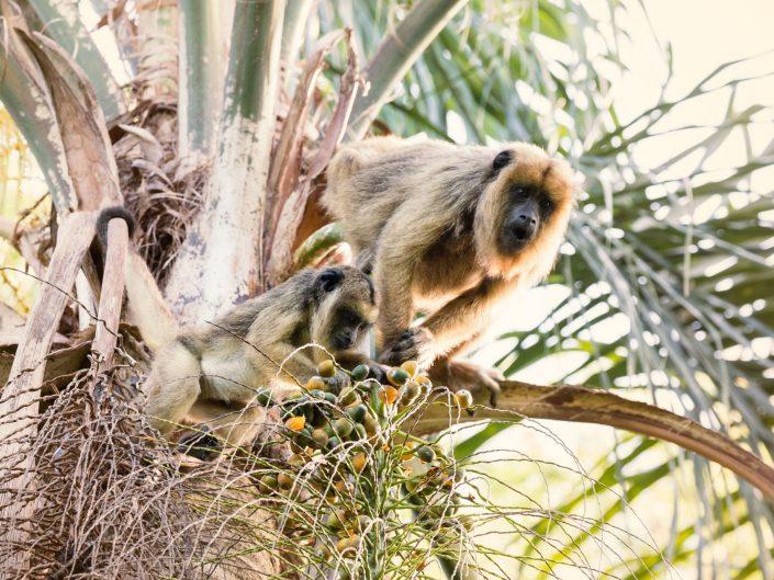 Monos carayá